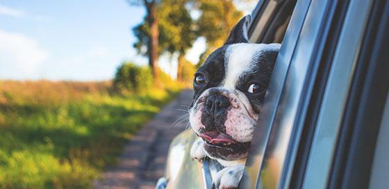 Куче на прозорец на автомобил